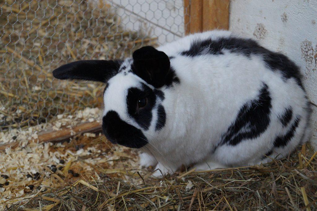 goor-konijn