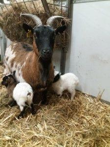 nieuwe geitjes